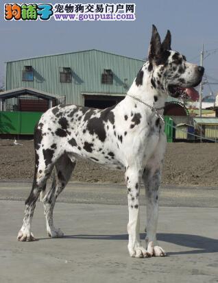 掌握大丹犬的特点与挑选的详细知识5