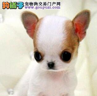 墨西哥吉娃娃多少钱一只 上海哪里有卖吉娃娃大概价位