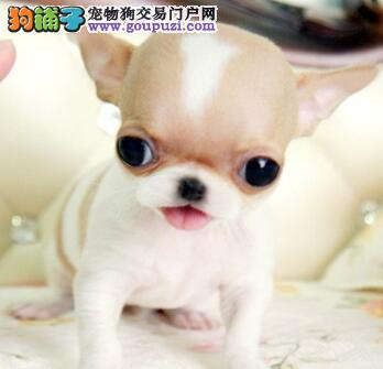 武汉实体店热卖吉娃娃颜色齐全签订保障协议