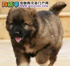 双血统南宁高加索犬直销中 质量三包可签署终身协议