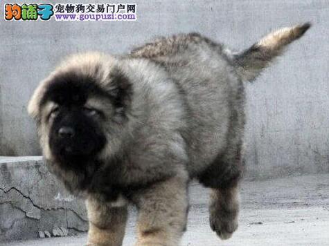 VIP信誉店出售顶级高加索幼犬品质健康有保证