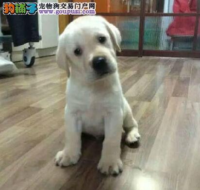 大连正规犬舍热销拉布拉多犬 纯种冠军级血系保证纯度
