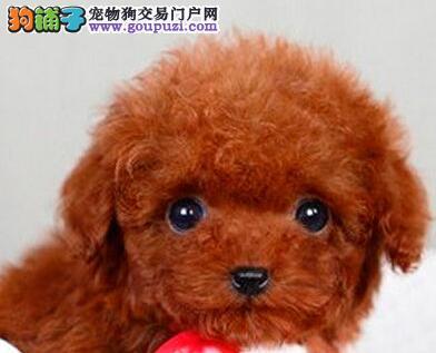 泰安家养纯种韩系茶杯泰迪犬转让超小体卷毛