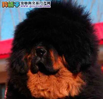 大型专业培育藏獒幼犬包健康全国十佳犬舍