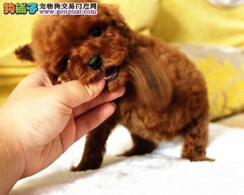 福州热销泰迪犬颜色齐全可见父母喜欢来电咨询