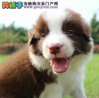 专业犬舍热卖宜昌边境牧羊犬品相好价格优惠