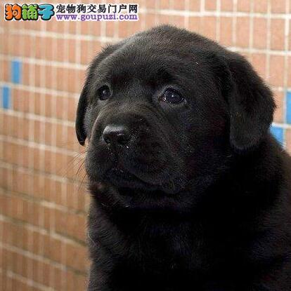 宜昌犬舍直销极品拉布拉多犬性格温顺签售后