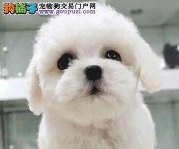 小卷毛活泼可爱健康的宜昌泰迪犬火爆促销中