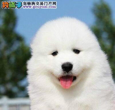 赛级品相咸阳萨摩耶幼犬低价出售签署各项质保合同
