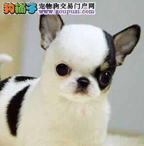 贵阳狗场出售体型较小的吉娃娃幼犬 高品质茶杯血系