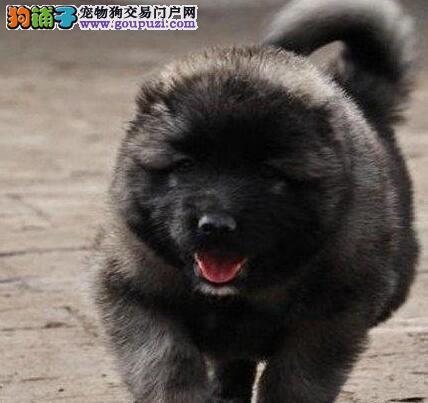 顶级优秀犬舍出售高加索犬 厦门市内送狗上门免运费