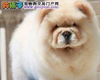 济南实体狗场出售肉嘴胖嘟嘟的松狮犬 上门可签协议