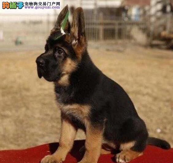 颜色全品相佳的德国牧羊犬纯种宝宝热卖中爱狗人士优先狗贩勿扰