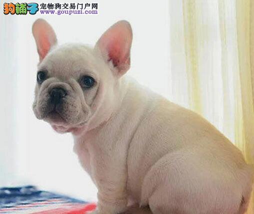 多种颜色的昆明法国斗牛犬找爸爸妈妈CKU认证绝对信誉保障