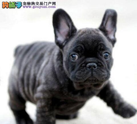 贵阳本地繁殖纯种法国斗牛犬幼犬出售
