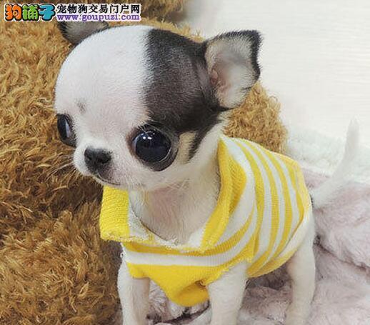 重庆出售吉娃娃幼犬品质好有保障三针疫苗齐全