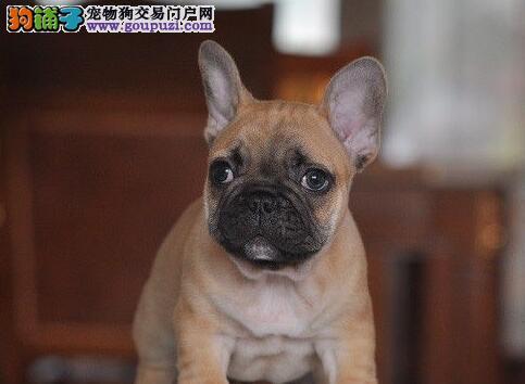 低价出售高品质柳州斗牛幼犬 3个月内可看狗父母