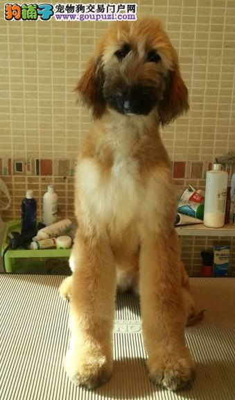 精品阿富汗猎犬幼犬一对一视频服务买着放心价格美丽非诚勿扰