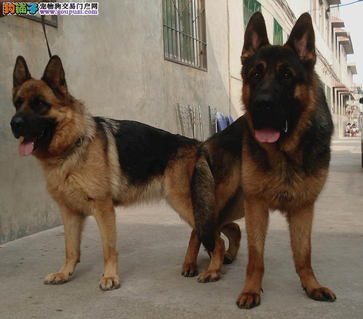 出售赛级狼狗、国际血统品质保障、寻找它的主人