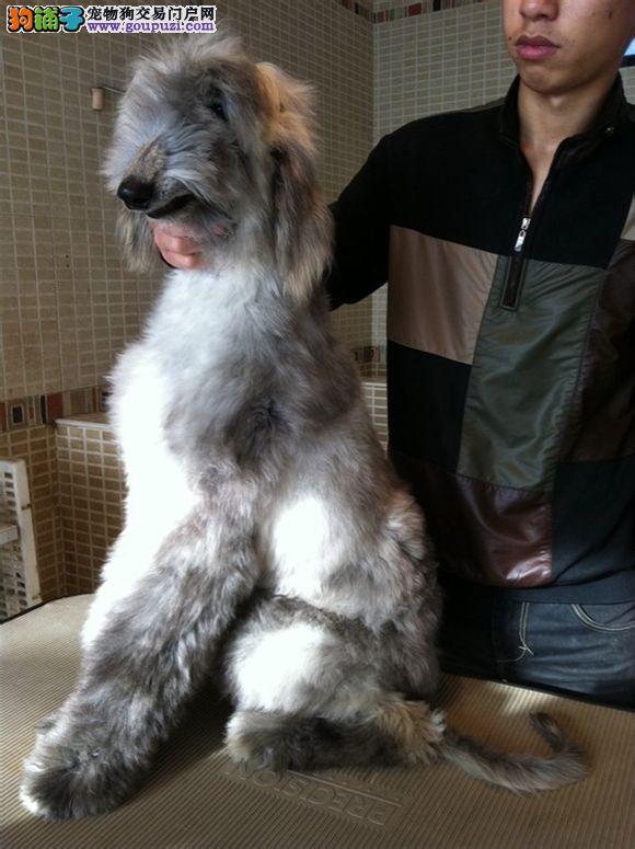 专业的阿富汗猎犬犬舍终身保健康可签合同刷卡