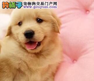 纯种金毛幼犬 正规养殖场专业繁殖 纯种健康 签协议