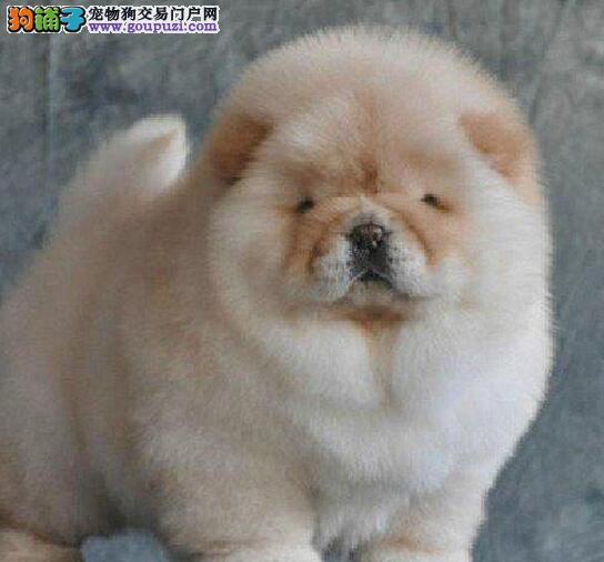 汕头狗场出售实物拍摄精品美系松狮幼犬 终身质保