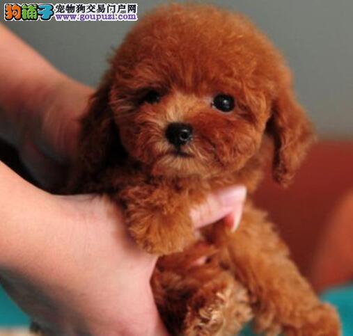 专业养殖场特价出售韩系广州泰迪犬 可办理血统证书