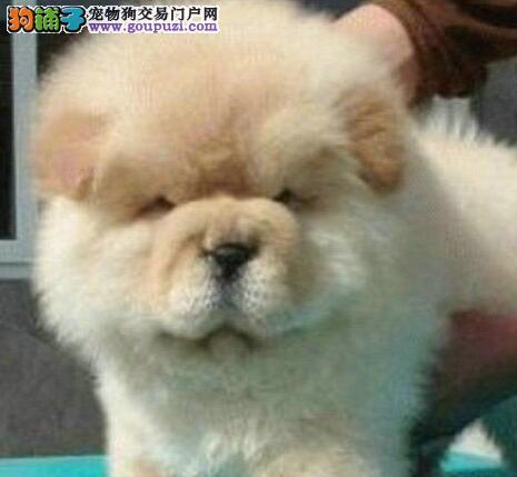 大嘴紫舌优秀松狮犬火爆出售中 广州地区可包邮保品质