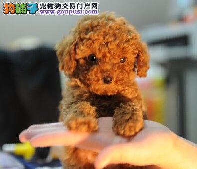 低价出售高级品质韩系贵宾犬 广州附近可来犬舍看狗