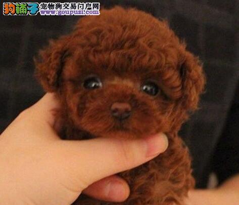 大型专业培育泰迪犬幼犬包健康包养活送用品