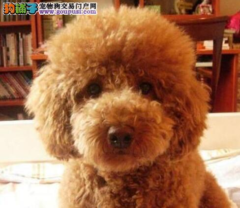 徐州犬舍出售深红色泰迪犬 随时可上门看狗签合同