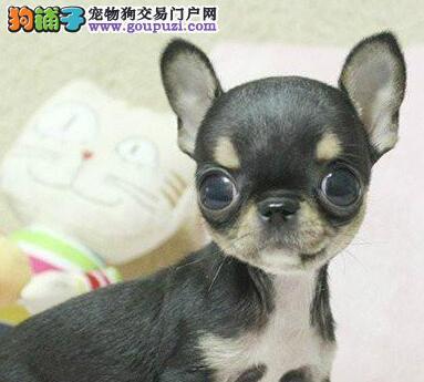 直销自家狗舍繁殖的吉娃娃长沙市区购犬送用品