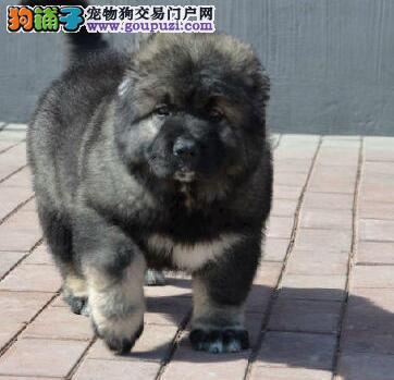 CKU认证犬舍出售高品质高加索专业品质一流