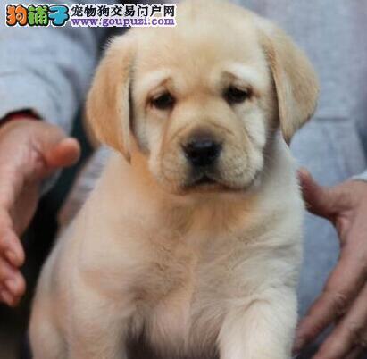 拉布拉多果洛州CKU认证犬舍自繁自销微信咨询视频看狗