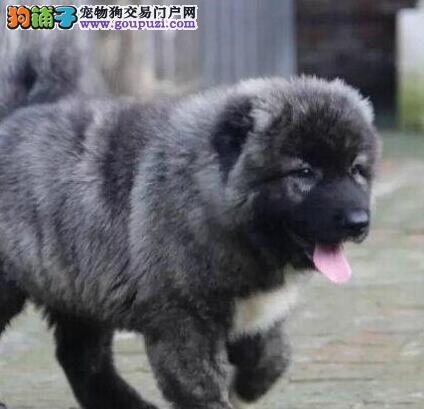 纯血统高加索幼犬、公母都有纯种健康、质保全国送货