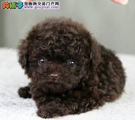 国外引进纯泰迪犬 纯种健康品相优良 等您接它回家