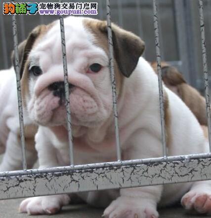 纯种赛级品质的渝中斗牛犬超低价出售 购犬可签协议书