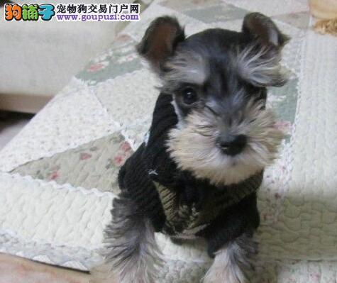 CKU认证的南宁犬舍出售雪纳瑞幼犬 完美售后完美品相
