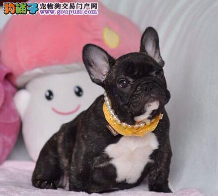 温州犬舍出售极品双血统的斗牛犬 签协议终身质保三年