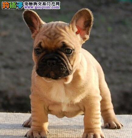 顶级优秀的纯种法国斗牛犬天津热卖中微信咨询看狗狗视频
