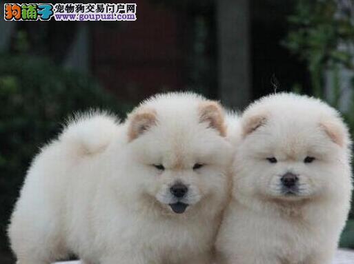 重庆高品质松狮幼犬 毛量爆好 纯种肉嘴松狮幼犬