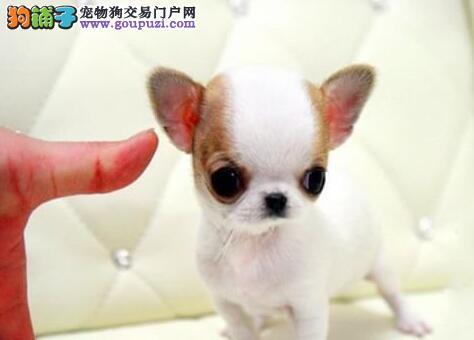 墨西哥血统超小体的温州吉娃娃幼犬找新家 请放心选购