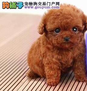 茶杯玩具血系的厦门泰迪犬找粑粑麻麻 狗贩子绕行