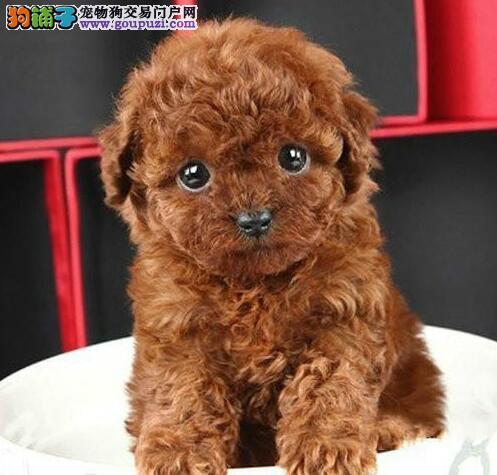 韩系血统泰迪犬天津正规犬舍转让中 国外引进品质高