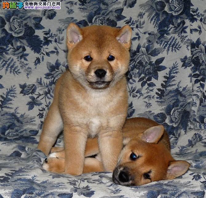 柴犬 正宗的日系柴犬 公母都有可视频选