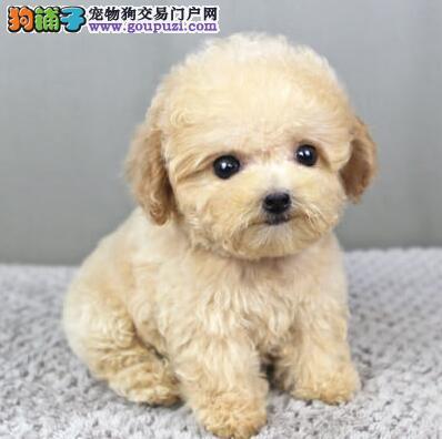 出售优秀精品韩系泰迪犬 欢迎来南昌实地考察价格优惠