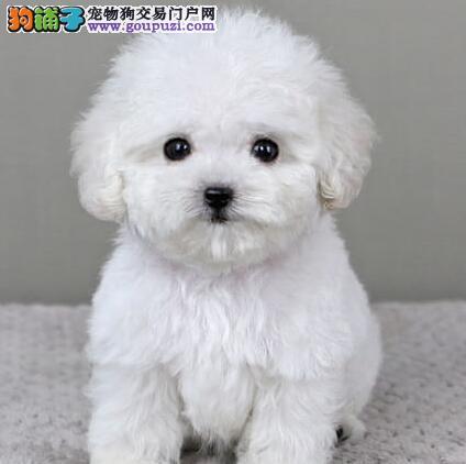 永州CKU认证犬舍出售高品质泰迪犬赠送全套宠物用品