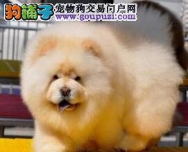 CKU认证犬舍 专业出售极品 松狮幼犬签订合法售后协议