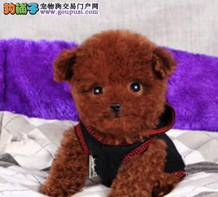 多种颜色血系纯正的泰迪犬找爸爸妈妈 沈阳市内可送货