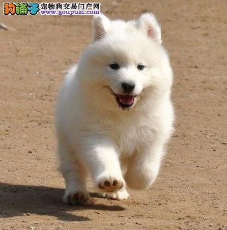 疫苗驱虫齐全的上海萨摩耶出售中 请大家放心选购幼犬